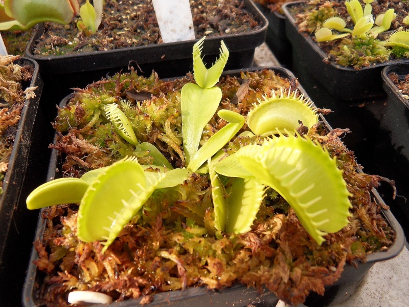 some pictures dionaea carnivorous plants uk. Black Bedroom Furniture Sets. Home Design Ideas