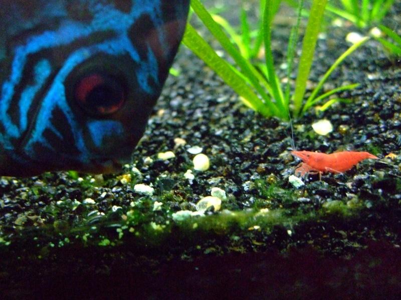 450 littres avec crevettes bac communautaire for Bac communautaire poisson rouge