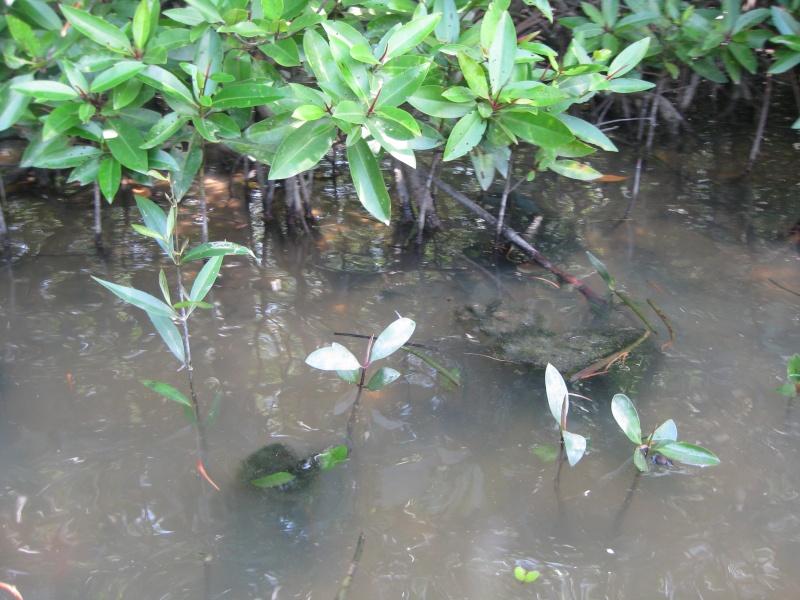 Mangrove au sud vietnam for Vente plantes par correspondance