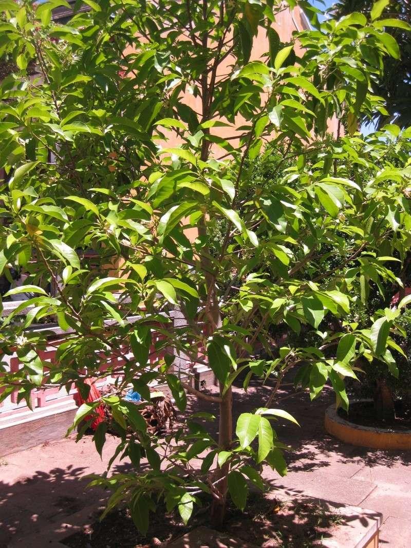 Arbre d 39 ombrage for Plantes par correspondance