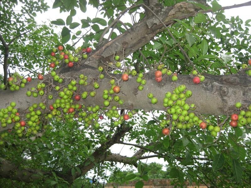 Ficus religiosa for Vente de fleurs par correspondance