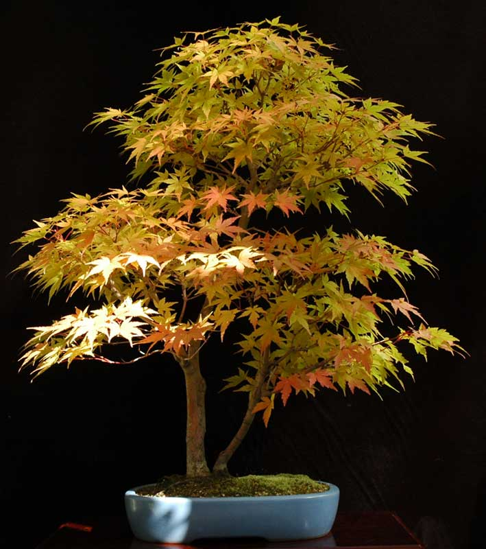 Coral bark japanese maple bonsai final, sorry