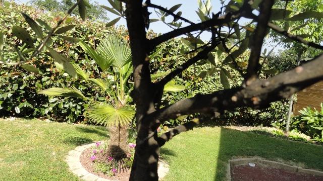 Le forum des fous de palmiers olivier tout noir - Traitement olivier bouillie bordelaise ...