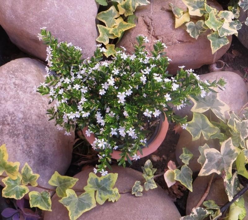 plante fleurie inconnue cuphea hyssopifolia. Black Bedroom Furniture Sets. Home Design Ideas