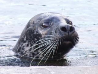 zoologie - aout 2012 - phoque - pinnipède - nombreux morts - Canada - Alaska - Amérique du Nord - Russie - hécatombe - Fukushima - Océan Pacifique - radiation - irradié - catastrophe écologique - forum