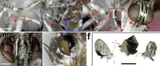 entomologie - papillon bleu - mutant - aout 2012 - accident de fukushima Daiichi - Japon - malformation - aile - lycénidés - forum - Zizeeria maha - retombées - conséquences