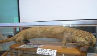 zoologie -  loutre de rivière japonaise  - lutra lutra whiteleyi - espèce officiellement éteinte - septembre 2012 - mustélidé - mammifère - ile de Shikoku - Japon - extermination - cryptozoologie