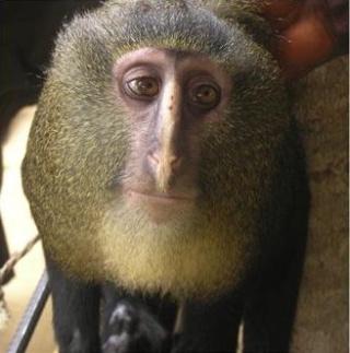 zoologie - primate - singe - République démocratique du Congo - cercopithécidé - mammifère - nouvelle espèce - septembre 2012 - Afrique -  Cercopithecus lomamiensis - cryptozoologie - lesula - John Hart - forum