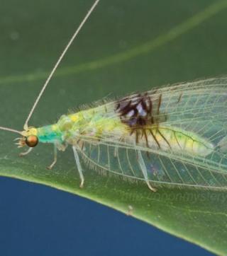 insecte - Semachrysa jade - aout 2012 - entomologie - entomologiste - Flickr - Shaun Winterton - jungle malaisienne - Musée d'histoire naturelle de Londres - Steve Brooks - mai 2011 - arthropode - invertébré