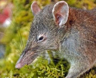 nouvelle espèce - zoologie - Paucidentomys vermidax - zoology - rat-musaraigne - biodiversité - édenté - rongeur - mammifère - Jacob Esselstyn - McMaster University - Indonésie - aout 2012 - forum