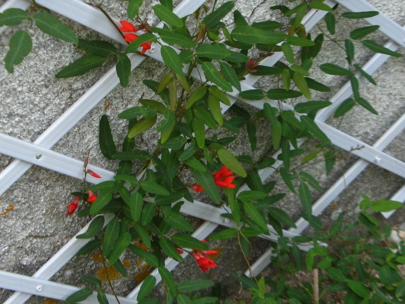 Autres plantes grimpantes interessantes - Plante grimpante feuillage persistant ...