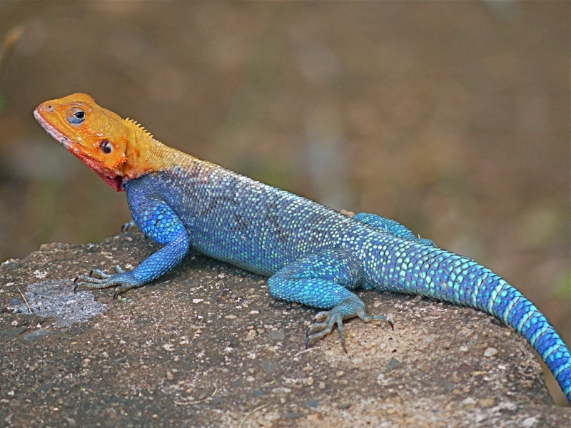 how lizards evolved into snakes Researchers also determined that the creature is the world's earliest known ancestor of snakes and lizards the fossil's age means that lizards coexisted with dinosaurs for millions of years, which contradicts what researchers previously thought.